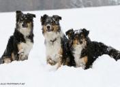 Bordercollies im Schnee-11