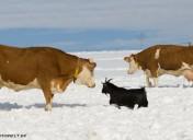 Kühe im Schnee3