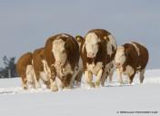 Kühe im Schnee7